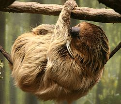 Sloth two toed